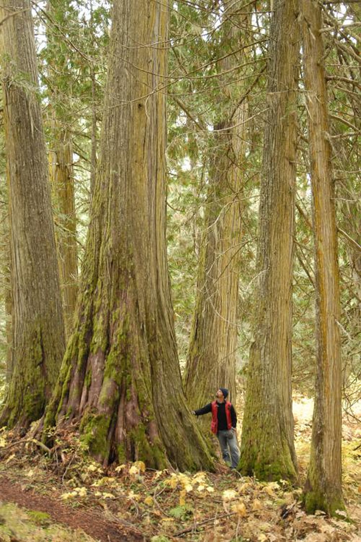 vancouver-observer-ancient-forest-British Columbia