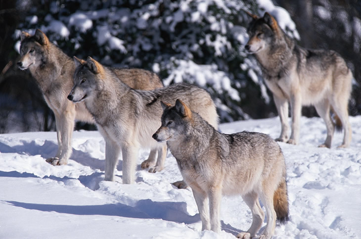 wolves-wolf-pack-british-columbia-730x485