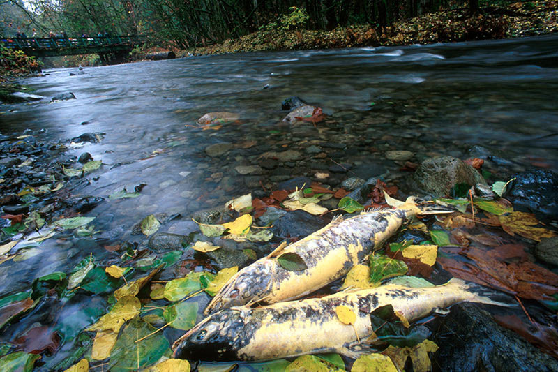salmon-spawning-goldstream-victoria-vancouver-island-british-columbia