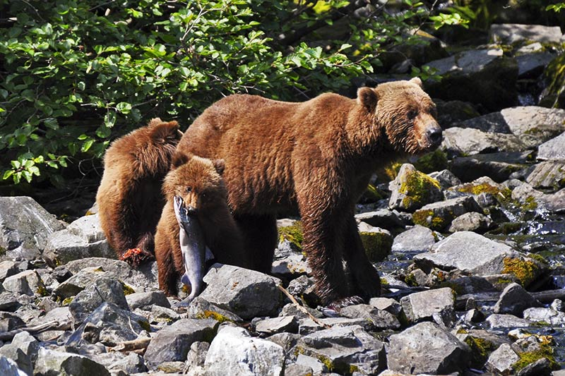 Grizzly Bear mother and cubs, Great Bear Rainforest, British Columbia, Cnada.