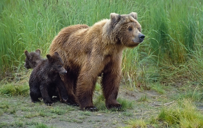 Grizzly bear and cubs in British Columbia, Canada