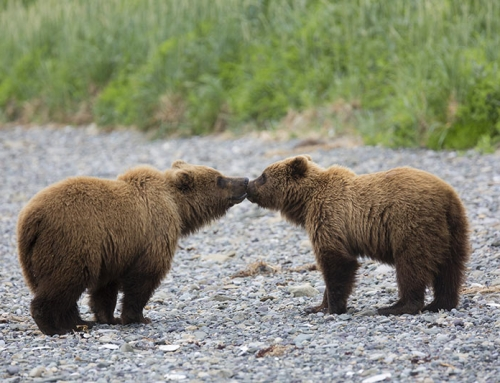 Grizzly Bear Baiter in British Columbia