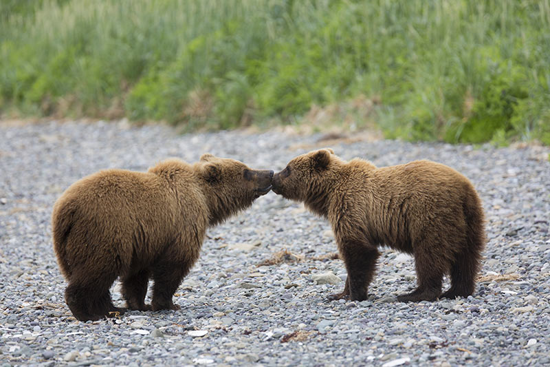 Grizzly bear smooching in British Columbia, Canada