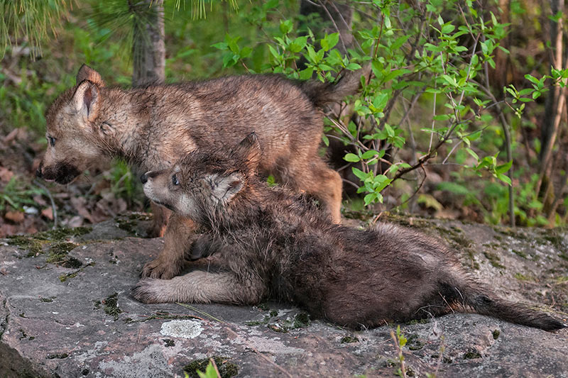 Wolf Pups: Raincoast Conservation: Pam and Miley are right about B.C. Wolf Cull, British Columbia, Canada