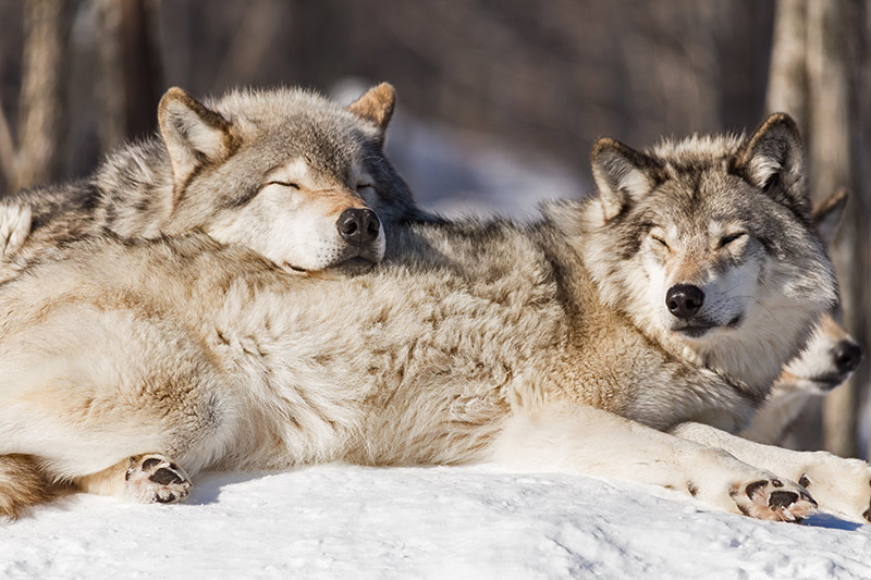 Resting Grey Wolves: Raincoast Conservation: Pam and Miley are right about B.C. Wolf Cull, British Columbia, Canada