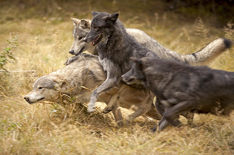 Saving Wolves With Compassionate Conservation: The Killing Must Stop in British Columbia, Canada.