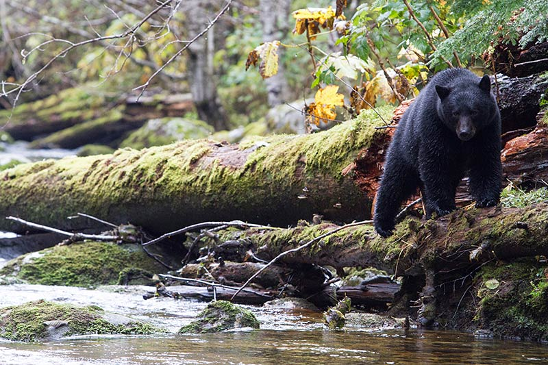 Grizzly Hunter departs BC with Rich Array of Trophies, British Columbia, Canada. Black Bear Fishing. Photo Rebecca Boyd