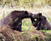 Grizzly Hunter departs BC with Rich Array of Trophies, British Columbia, Canada. Grizzly cub nuzzling its mother. Photo Rebecca Boyd