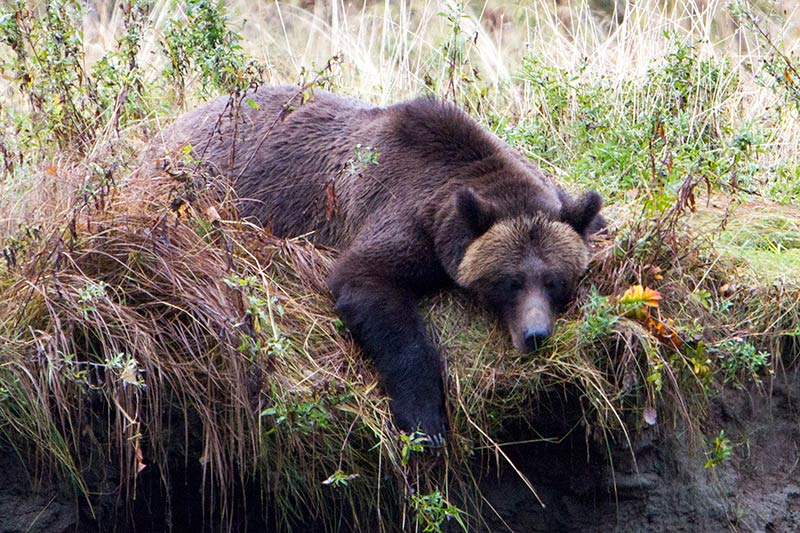 Grizzly Hunter departs BC with Rich Array of Trophies, British Columbia, Canada. Grizzly Bear resting. Photo Rebecca Boyd