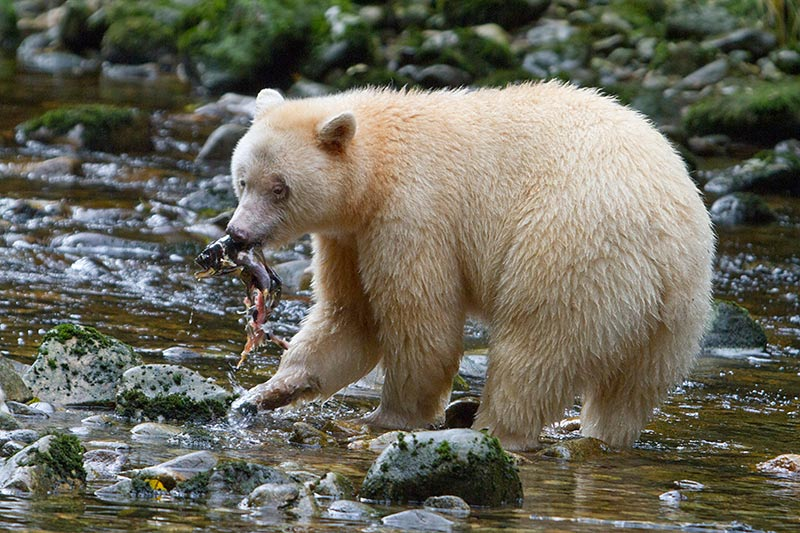 Grizzly Hunter departs BC with Rich Array of Trophies, British Columbia, Canada. Spirit Bear Fishing. Photo Rebecca Boyd