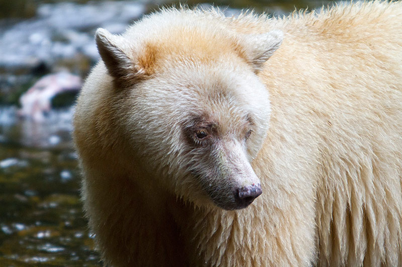 Grizzly Hunter departs BC with Rich Array of Trophies, British Columbia, Canada. Spirit Bear. Photo Rebecca Boyd