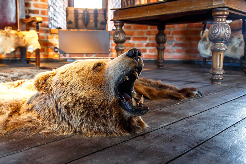 Grizzly Bear Rug. Trophy Hunting: No Right to Kill Wild Animals, British Columbia, Canada