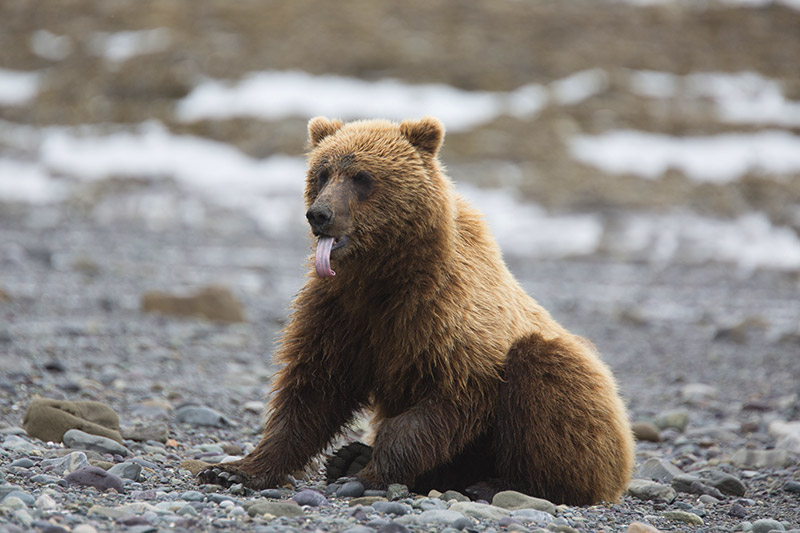 Grizzly Bear: We need to end the Grizzly Bear Trophy Hunt in British Columbia, Canada