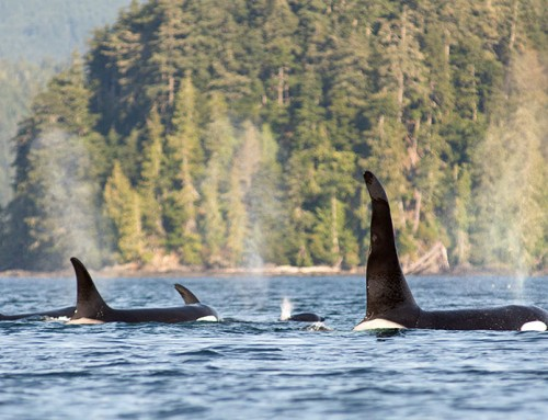 Orca Dreams: Canada's luxury whale watching base camp in British Columbia
