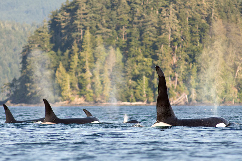 Killer Whales: Orca Dreams offers kayaking, whale watching and luxury camping on Compton Island, Blackney Pass, British Columbia