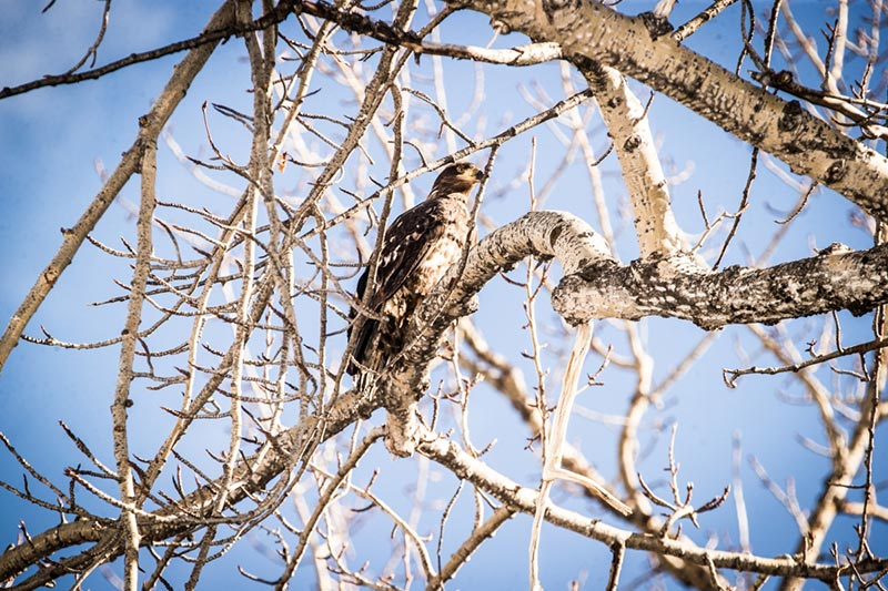 An eagle peeks out from the trees in the Peace River valley, Northern British Columbia. Photo: Tristan Brand.