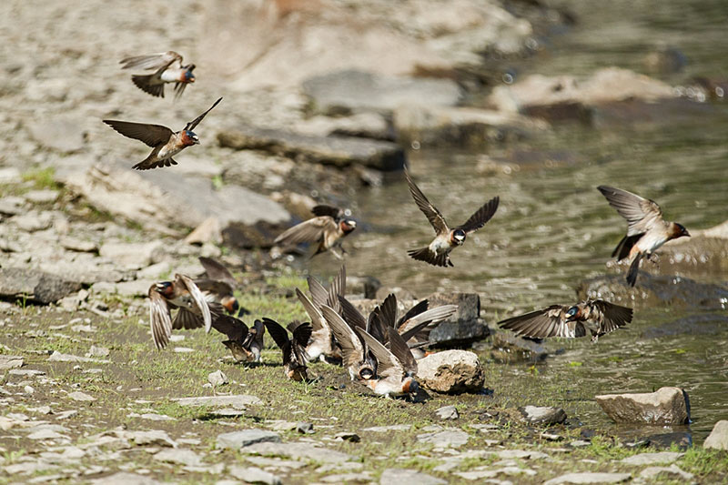 Cliff swallows along the shoreline at the confluence of the Peace and Halfway rivers. Photo: Tristan Brand.