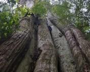 Ancient Cedar tree in British Columbia, Canada.