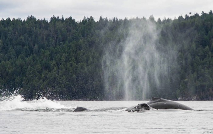 Astonishing Perspective from a Kayak of Breaching Humpback Whales, Via Wildcoast Adventures, British Columbia
