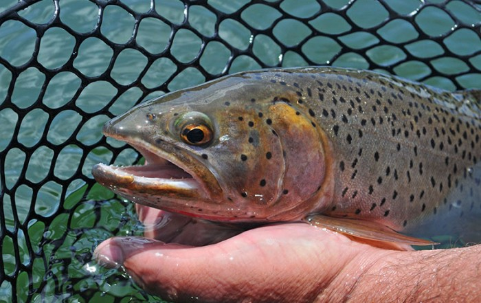 Cutthroat Trout, British Columbia, Canada
