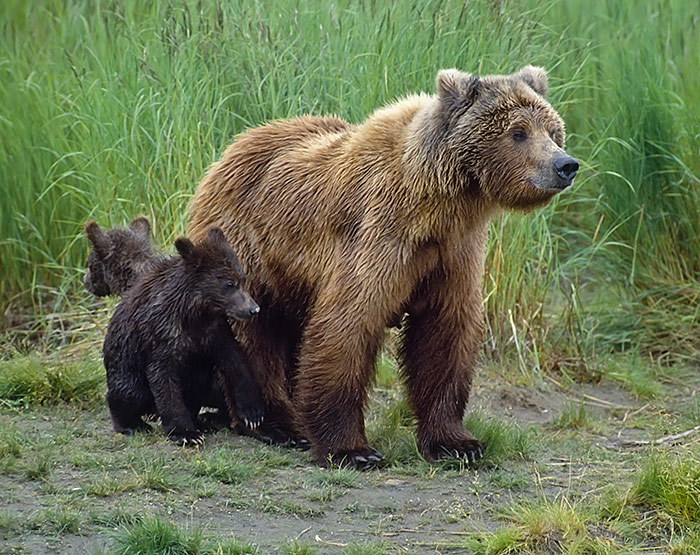 Grizzly bear sow and cubs, British Columbia, Canada