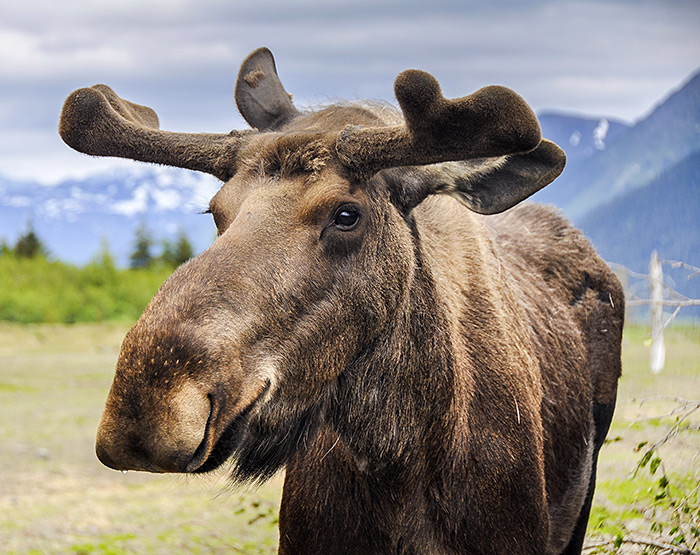 Moose on the Alaska Highway in Northern British Columbia, Canada