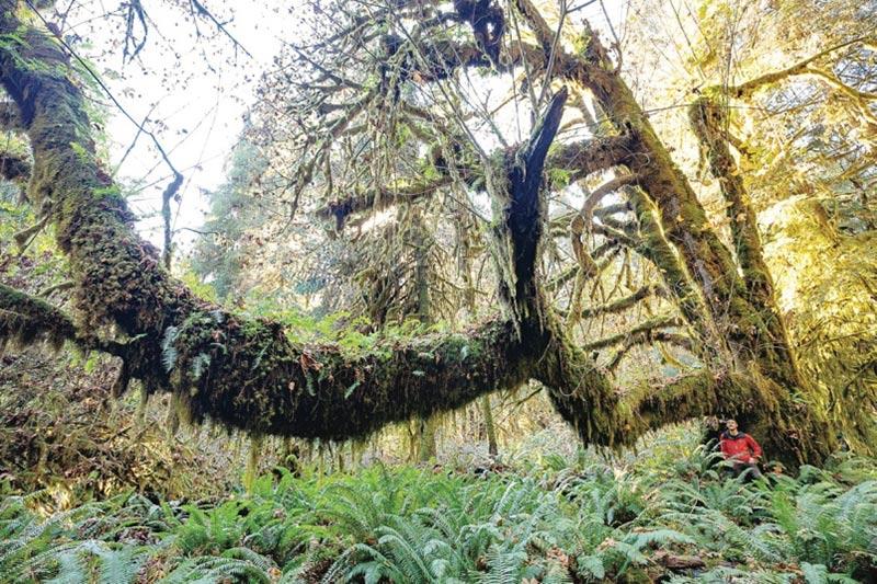 Giant Bigleaf Maple Tree in Mossome Grove, Port Renfrew, Vancouver Island, British Columbia, Canada
