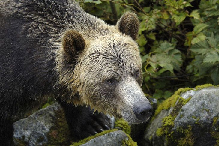 the grizzly bear lodge challenge essay To film a bear in hibernation, nature went to the bear research center at washington state university wsu houses four adult female grizzlies and several cubs, all of which have been raised by.